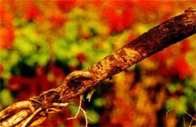 黄芪常见病虫害防治方法