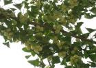 银杏种植的注意事项