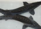 鲟鱼的人工养殖方法