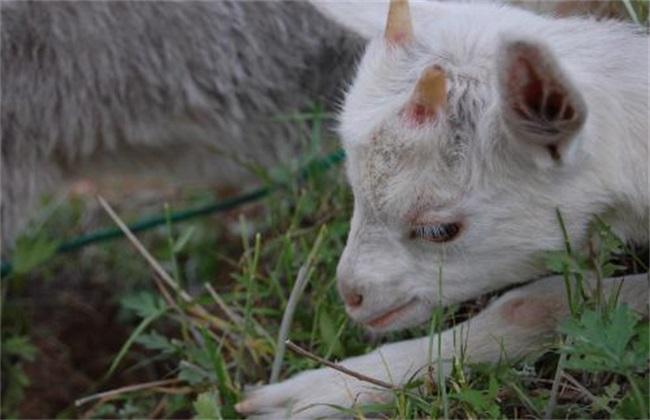 肉羊肥羔症该怎么办