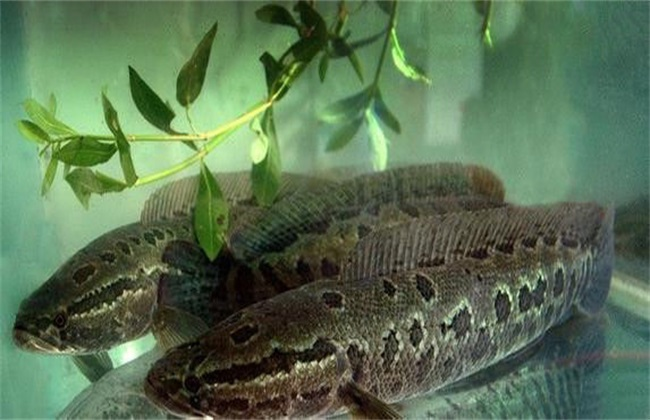 黑鱼 养殖 方法