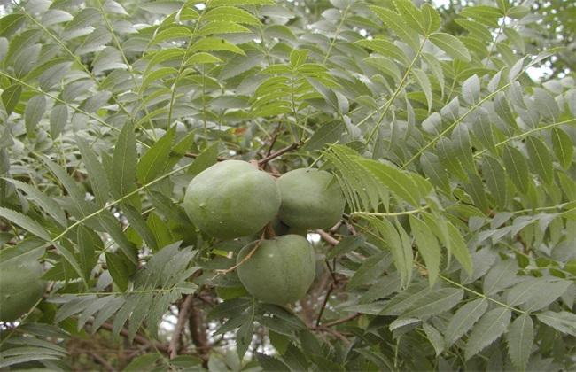 文冠果 方法 种植