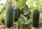 种植冬瓜的注意事项