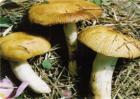 蘑菇黄菇多的原因及防治措施
