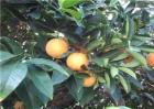 橙子怎么种好