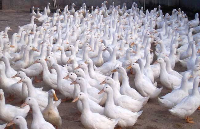 肉鸭啄羽的原因及防治措施