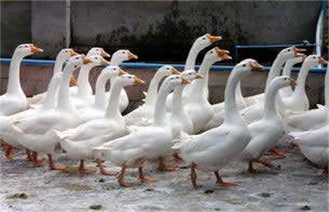 莱茵鹅的饲养管理技术