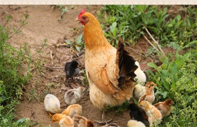提高成活率 土鸡 方法