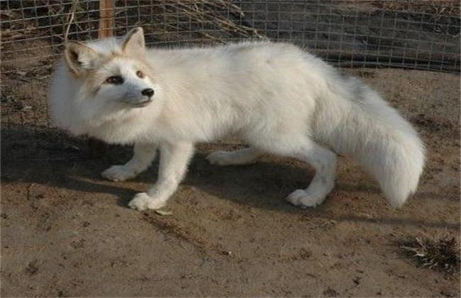 狐狸养殖时该注意些什么