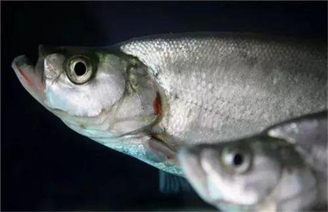 鲥鱼的人工养殖方法