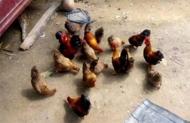 元宝鸡饲养技巧