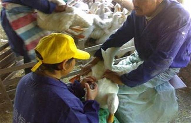 鸭子瘫痪的原因及防治方法