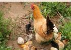 如何提高土鸡养殖成活率