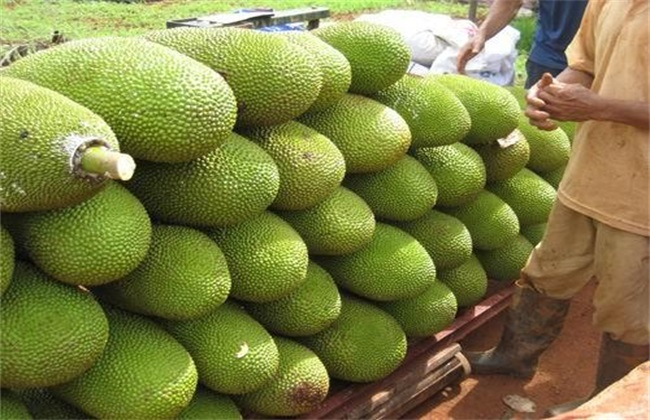 菠萝蜜的常见病害及防治