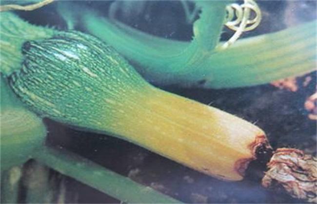 西葫芦化瓜的原因及预防措施