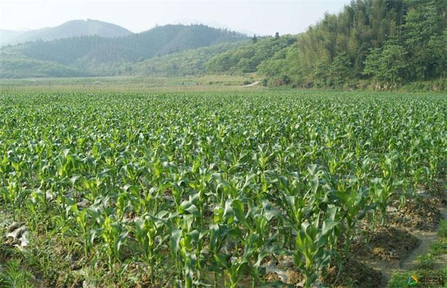 玉米 产量 提高方法