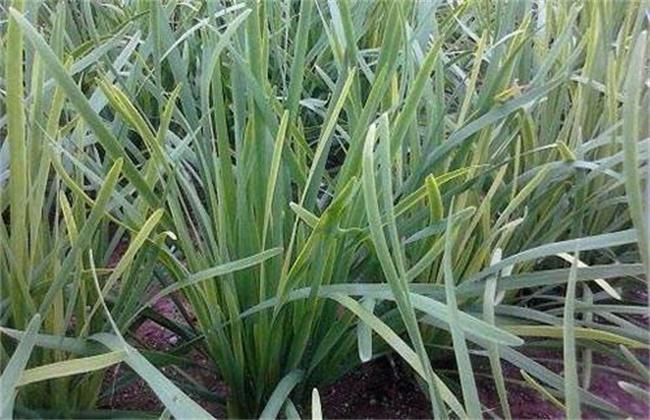 韭菜黄叶的原因及防治措施