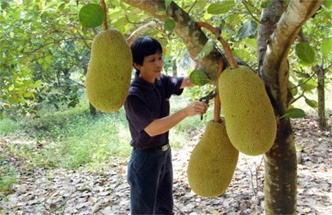 菠萝蜜 种植 方法