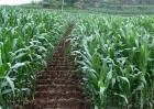 如何提高玉米的产量