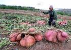 红薯畸形的原因及预防措施