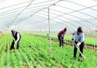 韭菜高产施肥技术