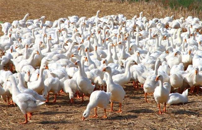 養鵝視頻:浙東白鵝養殖技術及創業致富經驗