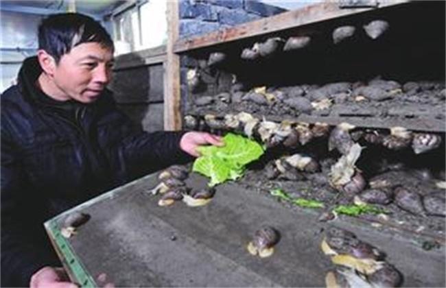蜗牛人工养殖的注意事项