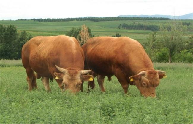 牛犊 管理 方法