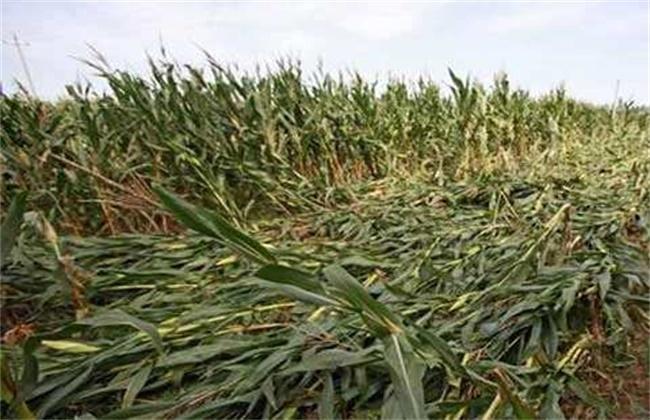 玉米倒伏的原因及解决方法