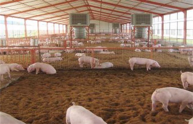 发酵床养猪法