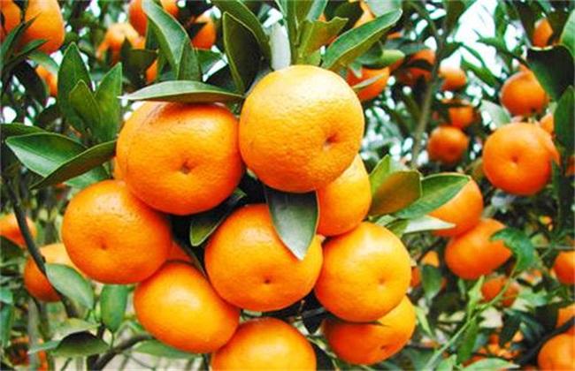 种植柑橘的注意事项