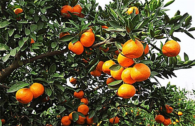 柑橘 种植 注意事项