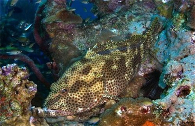 石斑鱼的养殖条件要求