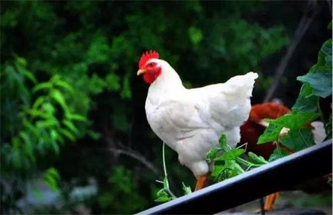 白羽肉鸡的养殖方法