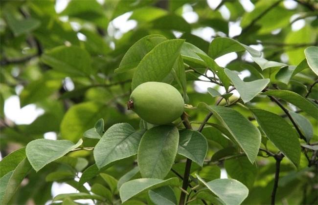 木瓜 育苗管理 方法