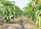 木瓜的育苗管理