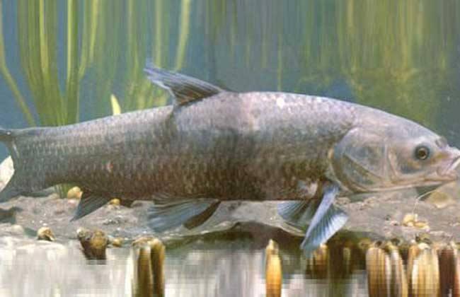 青鱼高产养殖技术