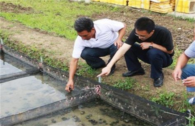 田螺养殖注意事项