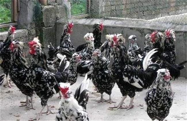 贵妃鸡 方法 养殖