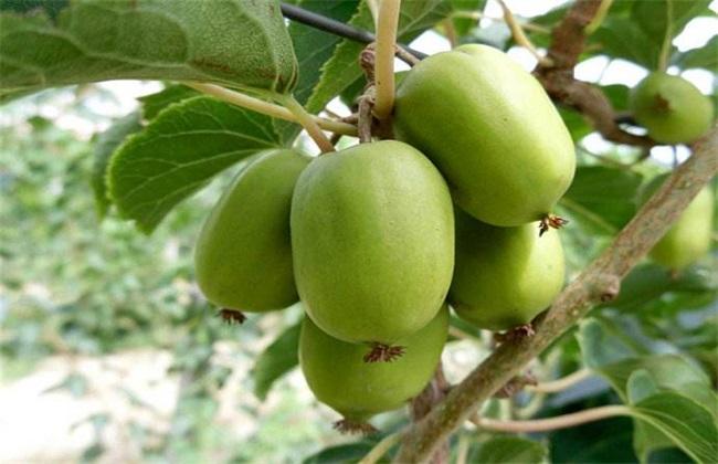 软枣猕猴桃的栽培技术
