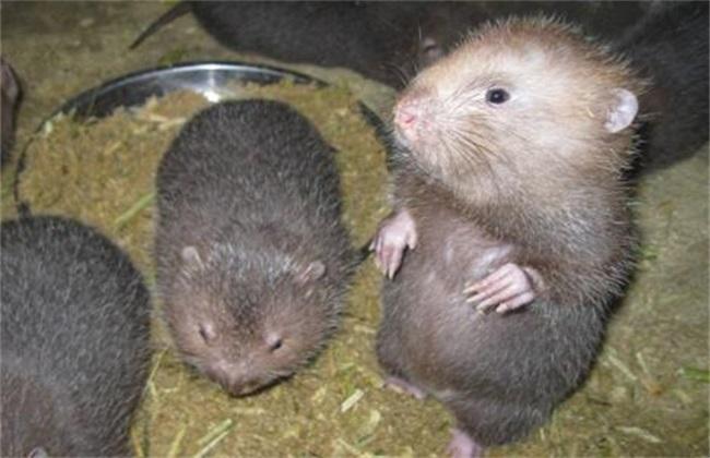 养殖竹鼠需要注意的事情