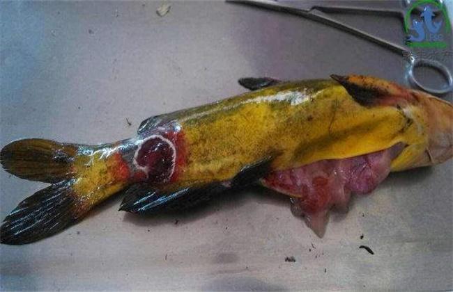 黄颡鱼主要病害的防治方法