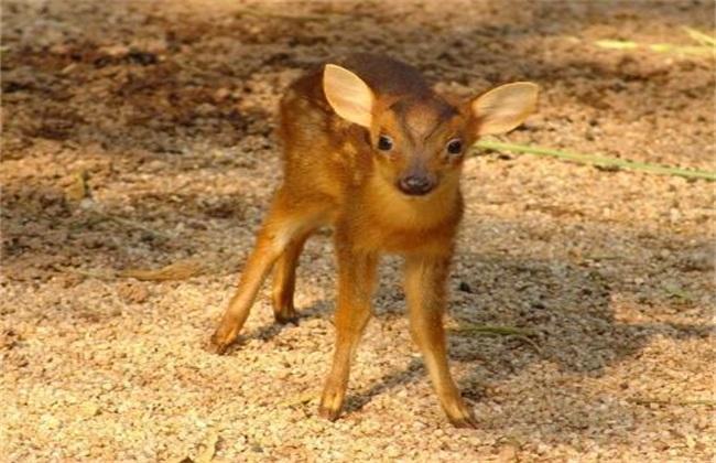 梅花鹿的幼崽管理