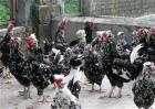 贵妃鸡的养殖方法