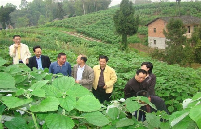 苎麻的种植技术
