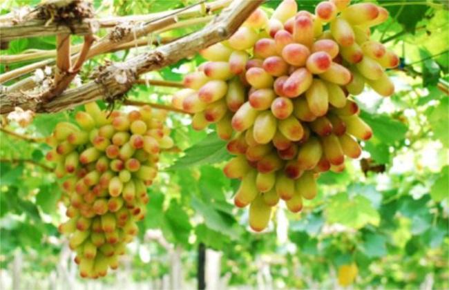 美人指葡萄 培育 方法