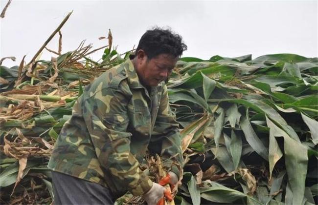 缩短玉米生育期促进其早熟的方法