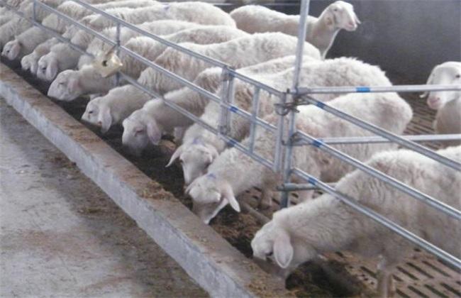 湖羊怎么养好