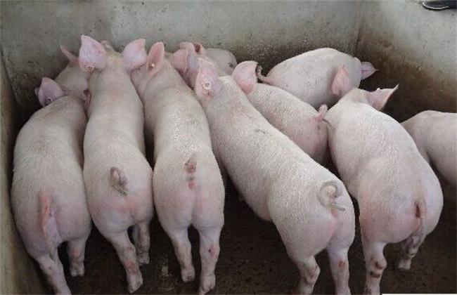 养猪场常用的疫苗