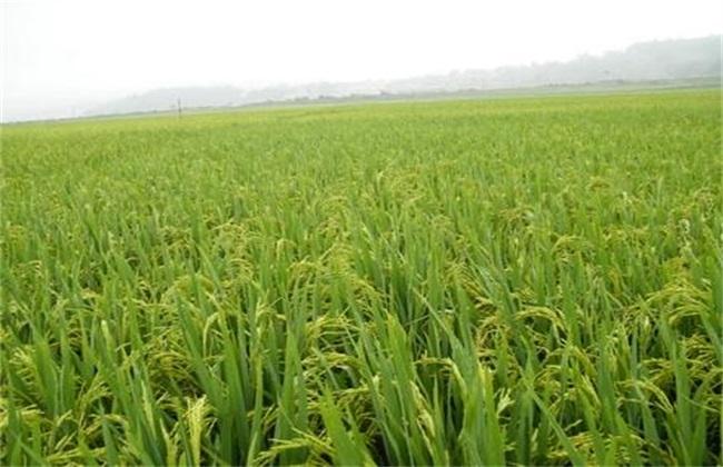 水稻 管理方法 齐穗期